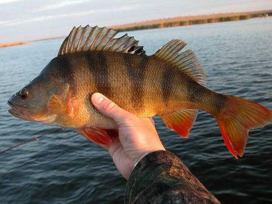 скачать торрент рыбалка на окуня - фото 11