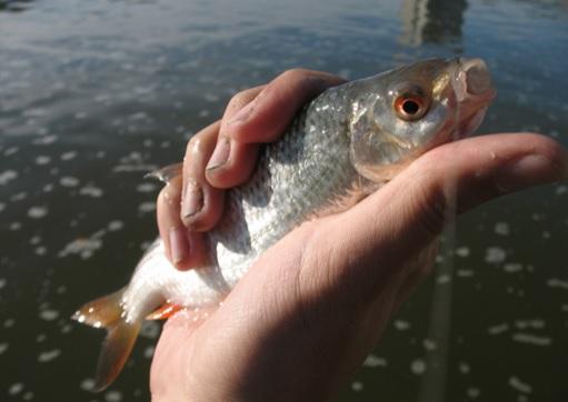 крупа для прикормки рыбы