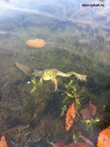 лягушка с озера
